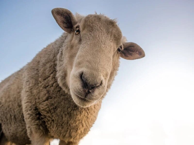 soñar con oveja