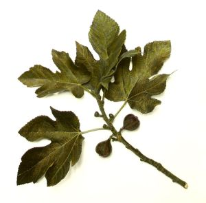 Fig_tree_leaves