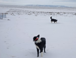 Border collies on the Red Desert