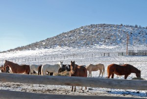 Horses with hay