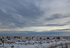Icelandic horses near Selfoss