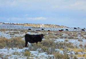 heifers at Powder Flat