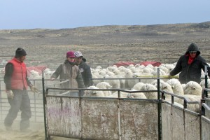 Meghan and Pepe bringing in the ewes