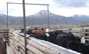 Cows with Squaw Mountain