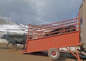 Headed for the pasture