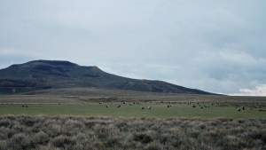 Morethan 1120 Sage Grouse were dancing on this BLM lek.