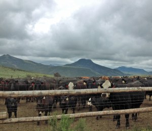 Cows waiting in the Elephant Corrals
