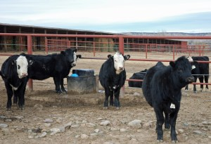 Heifers at the Flying Triangle