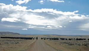moving cows near the Chivington Place