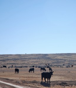 Heifers on dry ground