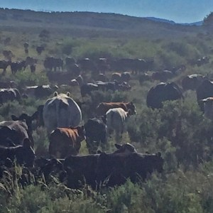 Cows in Sheep Mountain pasture