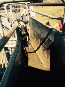 cow in chute