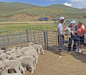 Harry checks out a lamb