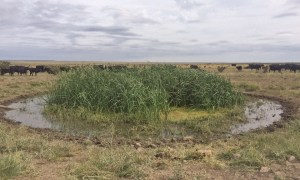 Each watering tank on The ranch has an overflow pond, which provides bird habitat.