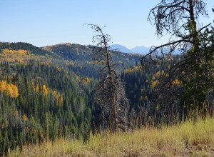 Columbus Mountain, Bears Ears, pine beetle killed trees
