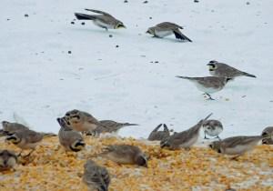 corn-fed birds