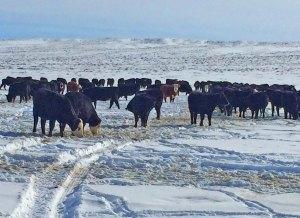 heifers in snow at Powder Flat