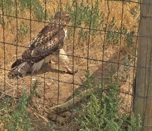 Hawk with rattle snake