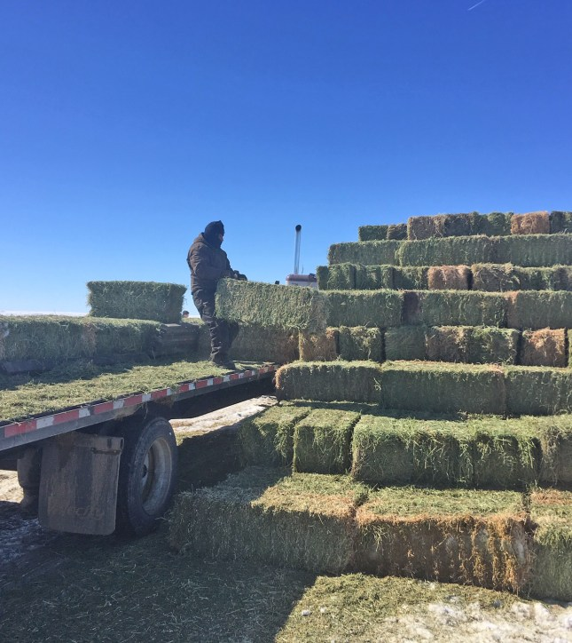 unloading hay at Chain Lakes
