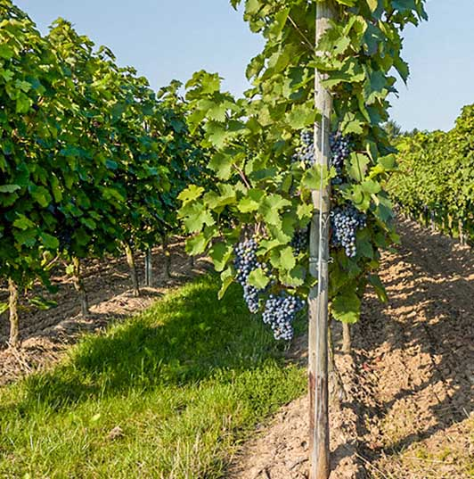 produits du terroir, vignoble près de Jonzac
