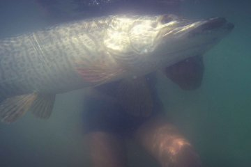 Catch and release of a big tiger muskie. Swimming with the fish for the release.