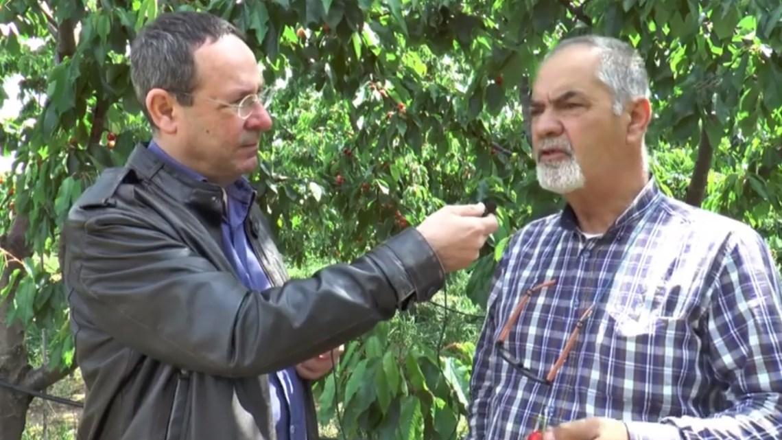 Ciliegie, l'imprenditore Curci: «Condizioni climatiche hanno fatto grossi danni»