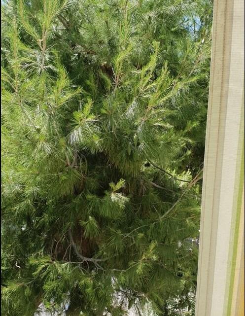 Intanto i rami dei pini raggiungono i secondi piani degli stabili in via Sac. Di Leo
