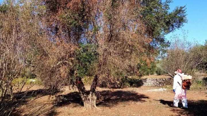Xylella, M5S: orgogliosi per fondi Governo alla Puglia per rigenerazione olivicola