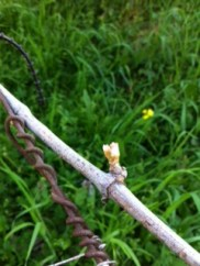 Bud burst at Santa Caterina, Liguria