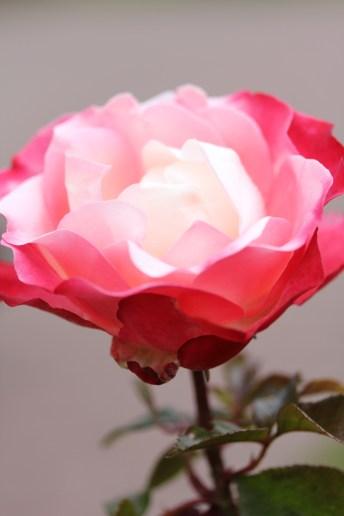 Regent Park Rose Garden