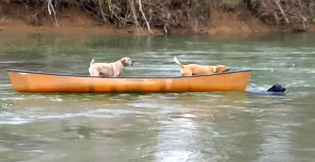 Hero Dog Rescues Two Dogs Stranded in Runaway Canoe