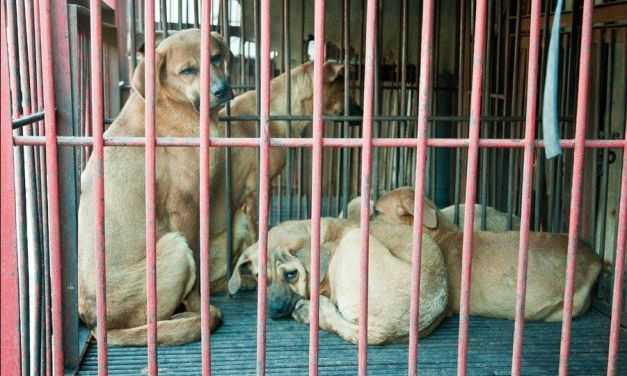Last Chance for Animals Unleashes Aggressive Campaign Against Korean Dog Meat Trade