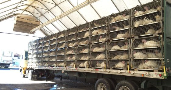 Turkeys in cages at Lilydale, Canada from an investigation by Mercy for Animals.