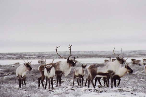 Caribou populations are threatened, endangered according to COSEWIC