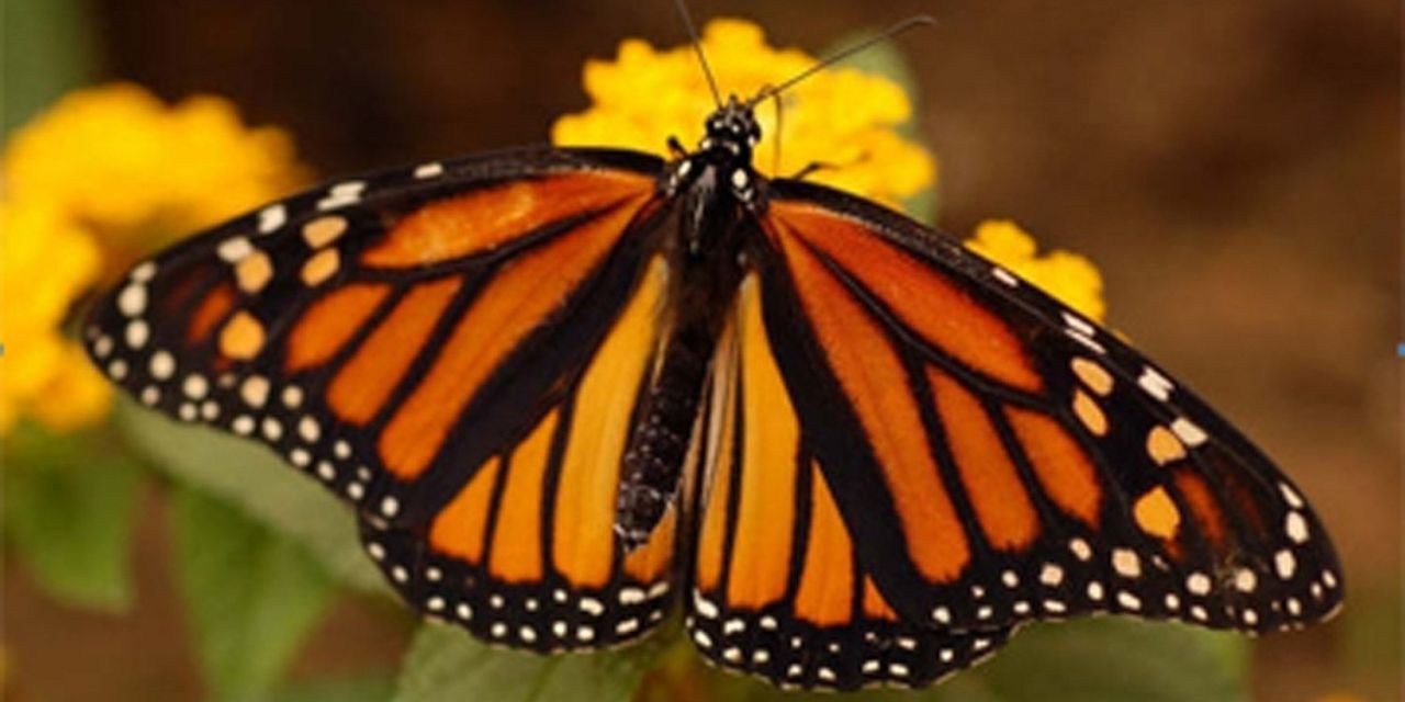The Beloved Monarch Butterfly is Now in Dire Peril