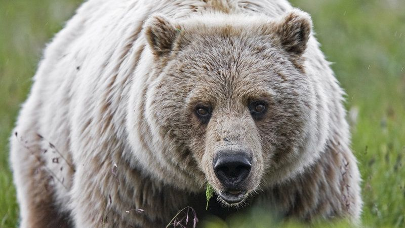 Urgent Plea to Obama: Save the Yellowstone Grizzly!