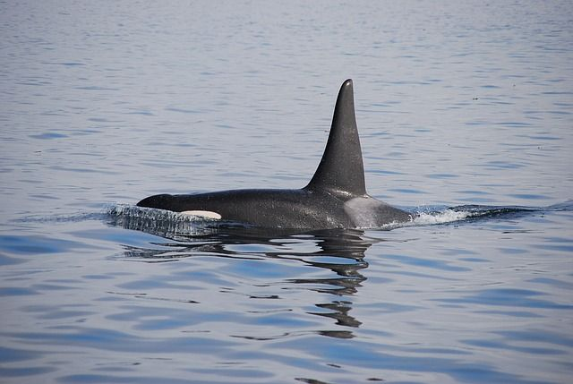 Tar sands oil puts marine life like killer whales at risk.