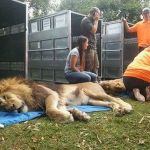 Lions, Tigers & Bears Once Trapped in Depressing Argentina Zoo Will Finally Taste Freedom
