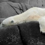 SeaWorld Polar Bear Has Died 'Of A Broken Heart'