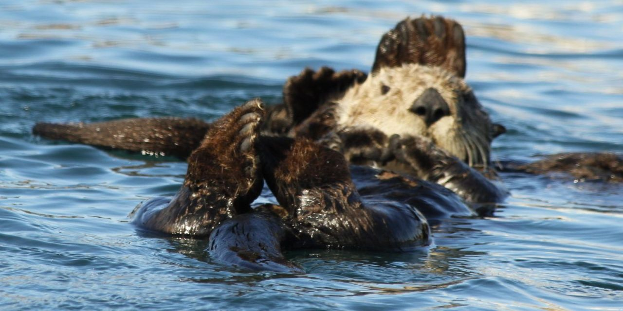 An Adorable Comeback – Otters are Flocking by the Dozens to this California Bay