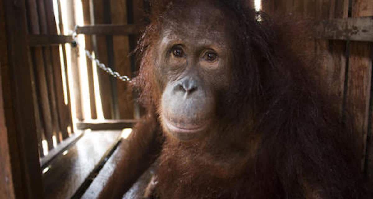 Amy The Orangutan Finally Free After Years Chained Up in a Crate