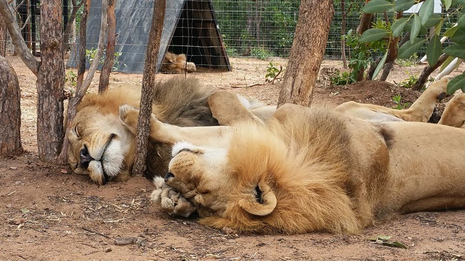 Two Rescued Circus Lions Killed by Poachers in Brutal Sanctuary Break-In