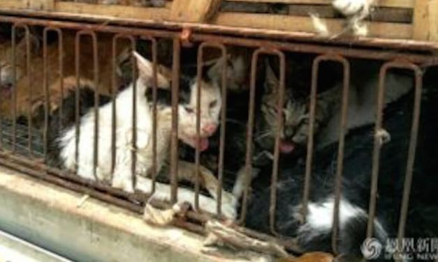 Chinese Police Seize 500 Cats Meant To Be Sold To Restaurants