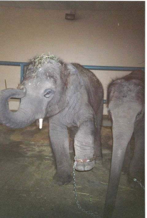 Picture of baby elephant chained at the Center for Elephant Conservation.