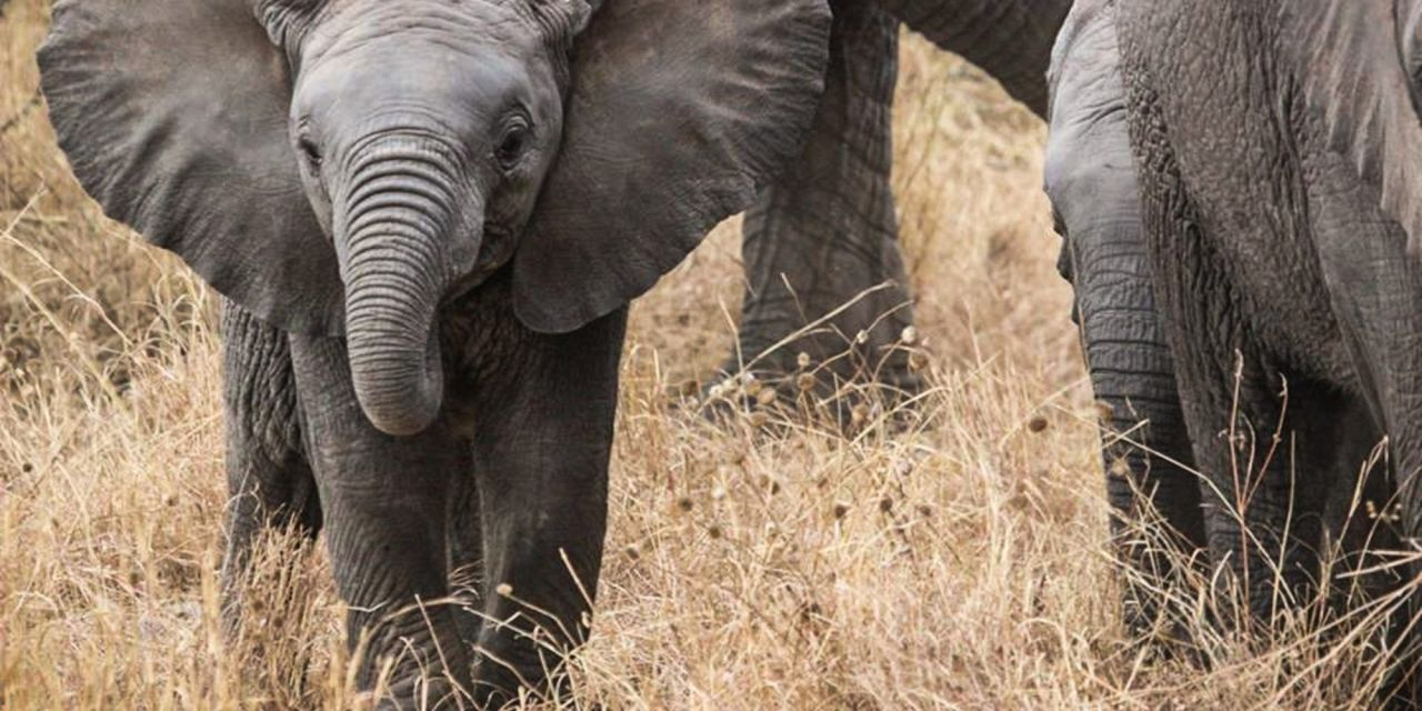 500 Elephants Moved in Massive Relocation to Save their Lives