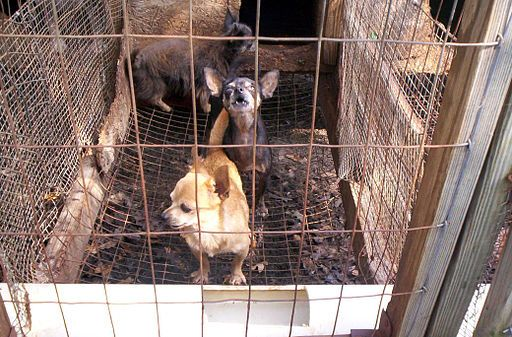 Puppy mill dogs in small cage.