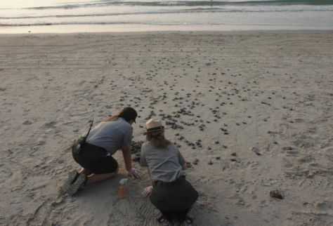 Conservationists release baby sea turtles.