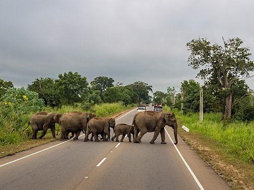Sri Lanken elephants crossing the highway.