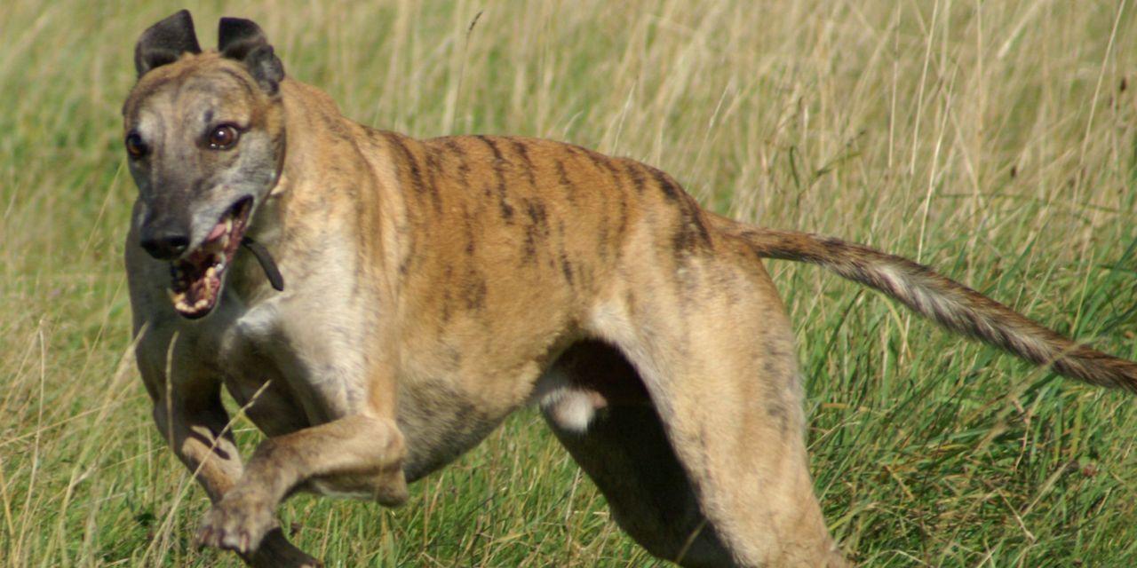 New Hope: Florida Proposes Ban On Cruel Greyhound Racing