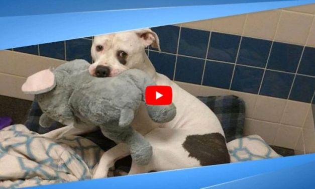 VIDEO: Dog and Beloved Stuffed Elephant Find Loving Foster Home Together